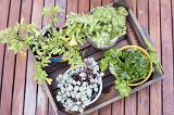 Assorted potted houseplants in a wooden box outdoors on wooden decking with a geranium and succulents viewed top down