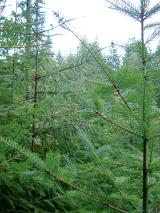 Evergreen pine forest background with a view through the branches of a sapling to the dense plantation beyond