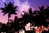 Colorful vivid tropical sunset with a grove of palm trees silhouetted against a purple , pink and orange sky, symbolic of travel and summer vacations