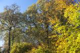 Colorful autumn or fall foliage with the leaves on the trees in woodland turning a vivid yellow with the changing of the seasons, against a clear sunny blue sky