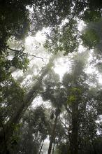 View from below looking up into a tall tree canopy in a rain forest with tropical sunlight filtering through the leaves