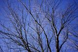 Tracery of a leafless bare branched deciduous tree in winter against a sunny blue sky