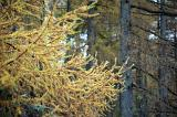 Close Up of Yellow Larch Branches - Deciduous Tree in front of Tall Evergreen Tree Trunks in Dense Forest
