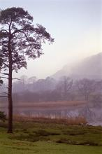 still misty morning, a view with a lone pine tree, calm lake and  winter trees in the background shrouded in mist