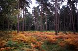 Colorful orange autumn bracken on a forest floor marking the changing of the seasons in a scenic nature landscape