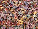 a bed of golden, red and maroon coloured autumn fallen leaves