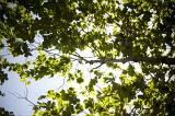 View from below of a branch of a tree covered in fresh green leaves back lit by the sunlight from above in a blue sky